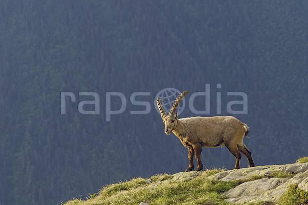 ac071449LE : Bouquetin mâle, Aiguilles Rouges, Chamonix, Alpes.  Europe, CEE, bouquetin, aurore, coucher de soleil, corne, C02 faune, forêt, gros plan, moyenne montagne, paysage (France).