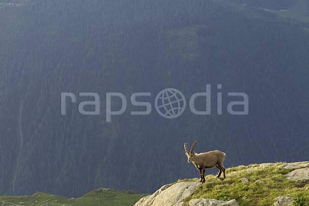ac071450LE : Bouquetin mâle, Aiguilles Rouges, Chamonix, Alpes.  Europe, CEE, bouquetin, aurore, coucher de soleil, corne, C02 faune, forêt, moyenne montagne, paysage (France).