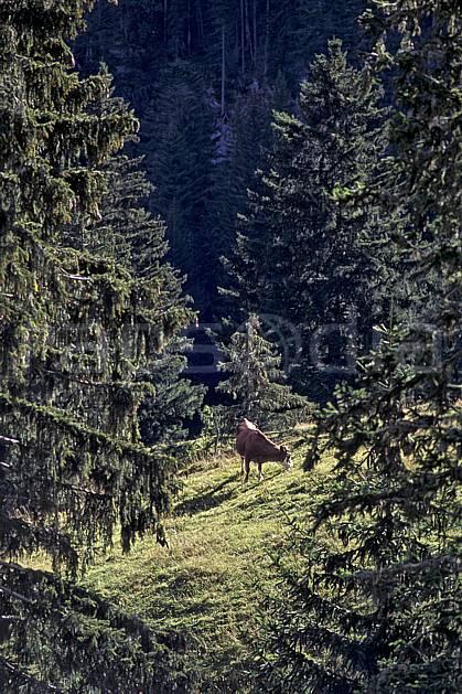 ac0839-09LE : Vache, Ablon, Haute-Savoie, Alpes.  Europe, CEE, vache, alpage, C02, C01 arbre, faune, moyenne montagne, Annecy 2018 (France).