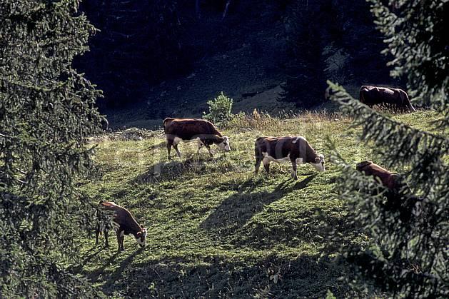 ac0839-10LE : Ablon, Haute-Savoie, Alpes.  Europe, CEE, herbe, vache, troupeau, alpage, C02, C01 arbre, faune, groupe, moyenne montagne, Annecy 2018 (France).