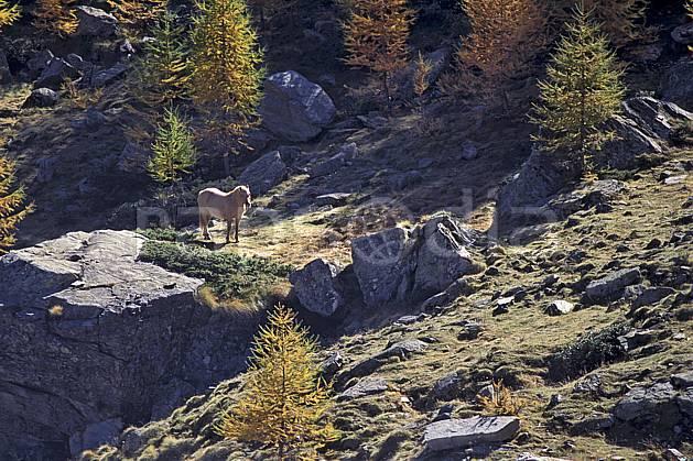 ac0853-01LE : Cheval, Grand Paradis, Alpes.  Europe, CEE, cheval, herbe, C02, C01 arbre, faune, moyenne montagne (Italie).