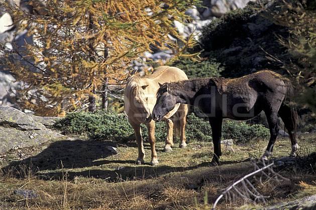 ac0853-04LE : Chevaux, Grand Paradis, Alpes.  Europe, CEE, cheval, herbe, C02, C01 arbre, couple, faune, groupe, moyenne montagne (Italie).