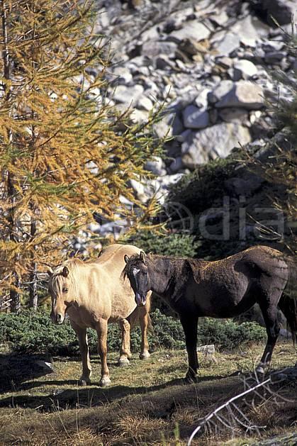 ac0853-05LE : Chevaux, Grand Paradis, Alpes.  Europe, CEE, cheval, herbe, C02, C01 arbre, faune, groupe, moyenne montagne (Italie).