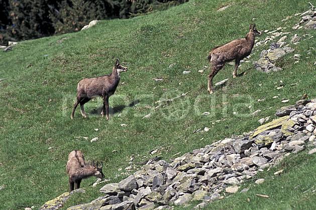 ac0963-08LE : Chamois, Les Houches, Haute-Savoie, Alpes.  Europe, CEE, chamois, corne, herbe, C02, C01 faune, groupe, moyenne montagne, Annecy 2018 (France).