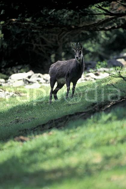 ac0963-15LE : Chamois, Les Houches, Haute-Savoie, Alpes.  Europe, CEE, chamois, corne, herbe, C02, C01 faune, moyenne montagne, Annecy 2018 (France).