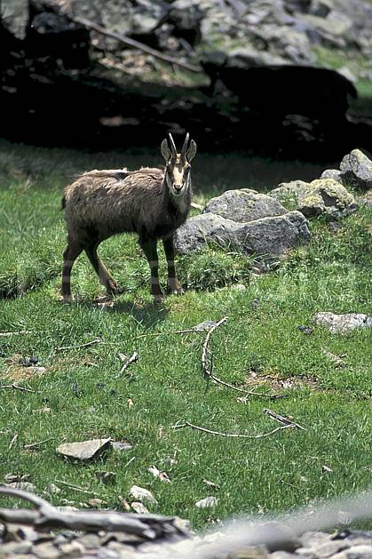 ac0964-05LE : Chamois, Les Houches, Haute-Savoie, Alpes.  Europe, CEE, chamois, corne, herbe, C02, C01 faune, moyenne montagne, Annecy 2018 (France).