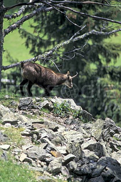ac0964-19LE : Chamois, Les Houches, Haute-Savoie, Alpes.  Europe, CEE, chamois, corne, herbe, C02, C01 faune, moyenne montagne, Annecy 2018 (France).
