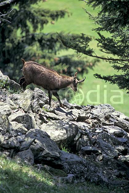 ac0964-20LE : Chamois, Les Houches, Haute-Savoie, Alpes.  Europe, CEE, chamois, corne, herbe, C02, C01 faune, moyenne montagne, Annecy 2018 (France).