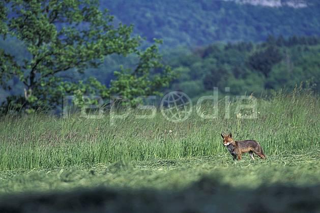 ac0965-27LE : Renard, Haute-Savoie, Alpes.  Europe, CEE, herbe, renard, champ, C02, C01 faune, moyenne montagne, Annecy 2018 (France).
