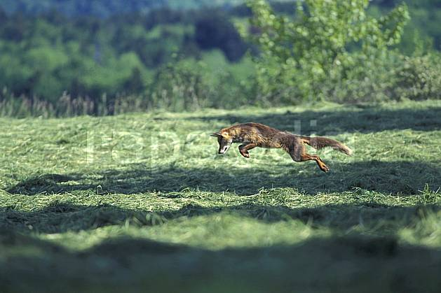ac0965-35LE : Renard, Haute-Savoie, Alpes.  Europe, CEE, herbe, renard, champ, C02, C01 faune, moyenne montagne, Annecy 2018 (France).