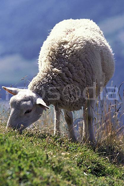 ac1047-26LE : Mouton, Pointe Percée, Aravis, Haute-Savoie, Alpes.  Europe, CEE, herbe, mouton, C02, C01 faune, gros plan, moyenne montagne, portrait, Annecy 2018 (France).