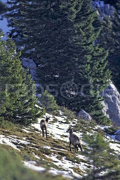 ac1065-25LE : Chamois, Sous Dine, Haute-Savoie, Alpes.  Europe, CEE, chamois, C02, C01 arbre, faune, groupe, moyenne montagne, Annecy 2018 (France).