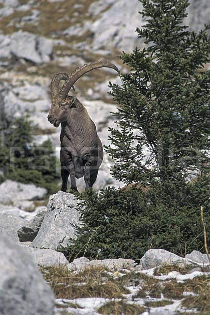 ac1069-09LE : Bouquetin, Sous Dine, Haute-Savoie, Alpes.  Europe, CEE, bouquetin, corne, C02, C01 faune, moyenne montagne, Annecy 2018 (France).