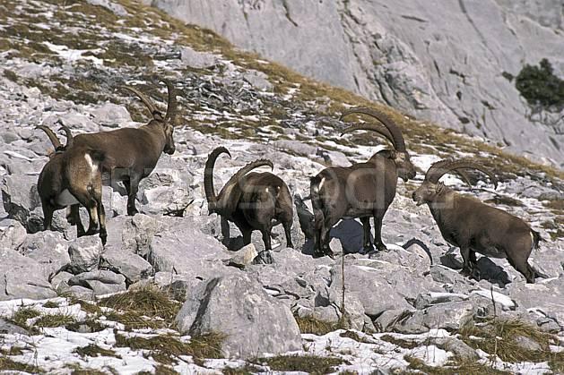ac1069-16LE : Bouquetins, Sous Dine, Haute-Savoie, Alpes.  Europe, CEE, bouquetin, corne, C02, C01 faune, groupe, moyenne montagne, Annecy 2018 (France).