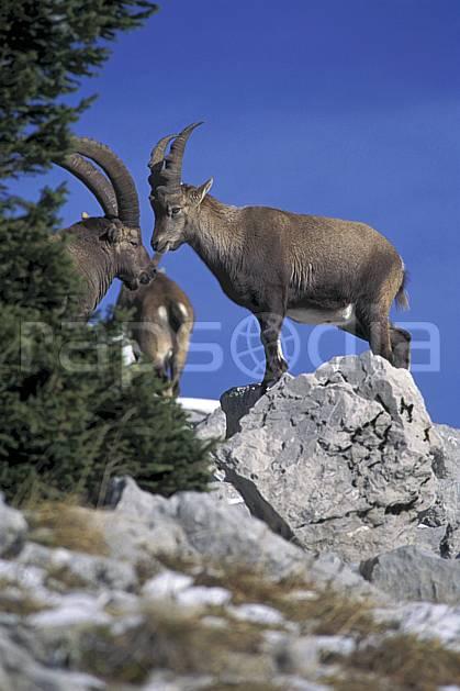 ac1069-20LE : Bouquetins, Sous Dine, Haute-Savoie, Alpes.  Europe, CEE, bouquetin, ciel bleu, corne, C02, C01 faune, groupe, moyenne montagne, Annecy 2018 (France).