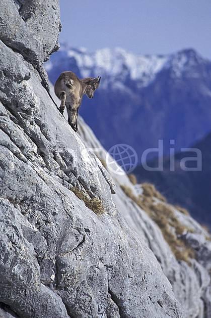 ac1069-34LE : Jeune bouquetin, Sous Dine, Haute-Savoie, Alpes.  Europe, CEE, bouquetin, falaise, C02, C01 faune, moyenne montagne, Annecy 2018 (France).