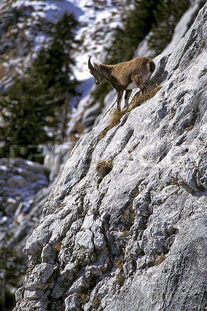 ac1070-17LE : Jeune bouquetin, Sous Dine, Haute-Savoie, Alpes.  Europe, CEE, bouquetin, corne, falaise, C02, C01 faune, moyenne montagne, Annecy 2018 (France).