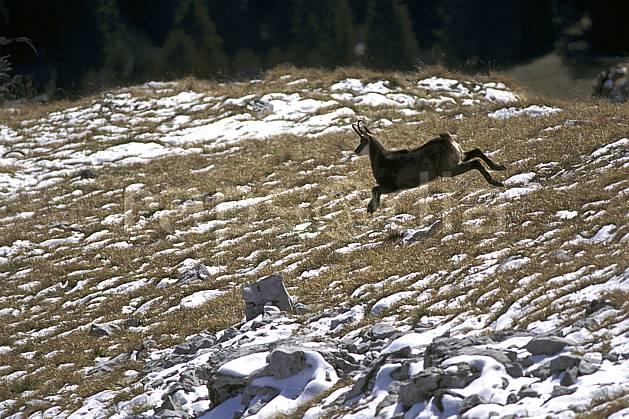 ac1070-33LE : Chamois, Sous Dine, Haute-Savoie, Alpes.  Europe, CEE, chamois, herbe, C02, C01 faune, moyenne montagne, saut, Annecy 2018 (France).