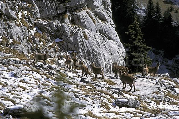 ac1070-35LE : Bouquetins, Sous Dine, Haute-Savoie, Alpes.  Europe, CEE, bouquetin, troupeau, falaise, C02, C01 faune, groupe, moyenne montagne, Annecy 2018 (France).