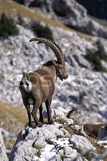 ac1071-04LE : Bouquetin, Sous Dine, Haute-Savoie, Alpes.  Europe, CEE, bouquetin, corne, C02, C01 faune, moyenne montagne, gros plan, Annecy 2018 (France).