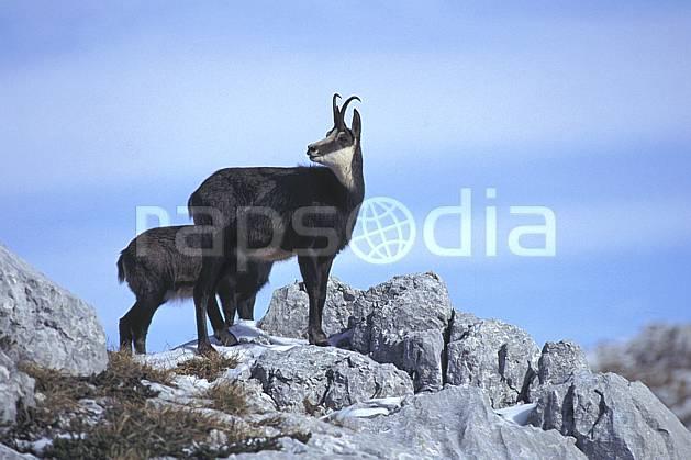 ac1071-12LE : Chamois, Sous Dine, Haute-Savoie, Alpes.  Europe, CEE, chamois, corne, C02, C01 faune, groupe, moyenne montagne, gros plan, Annecy 2018 (France).