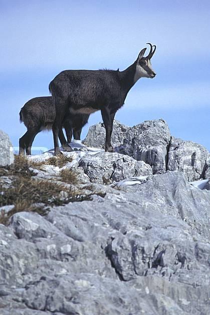 ac1071-13LE : Chamois, Sous Dine, Haute-Savoie, Alpes.  Europe, CEE, chamois, corne, C02, C01 faune, groupe, moyenne montagne, gros plan, Annecy 2018 (France).