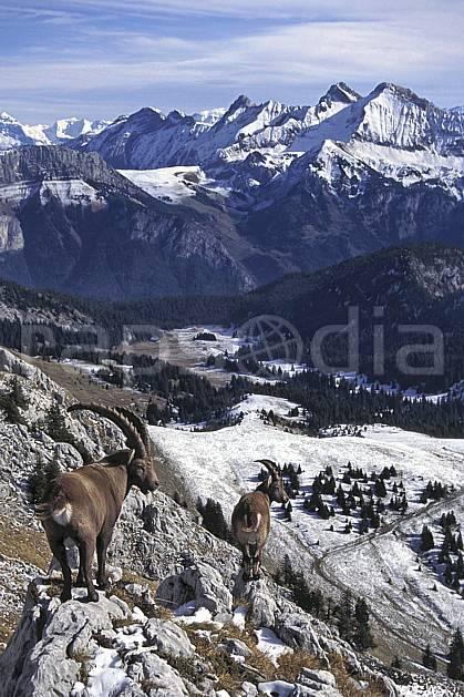 ac1071-20LE : Bouquetins, Sous Dine, Haute-Savoie, Alpes.  Europe, CEE, bouquetin, ciel voilé, panorama, vallée, C02, C01 faune, groupe, moyenne montagne, paysage, Annecy 2018 (France).