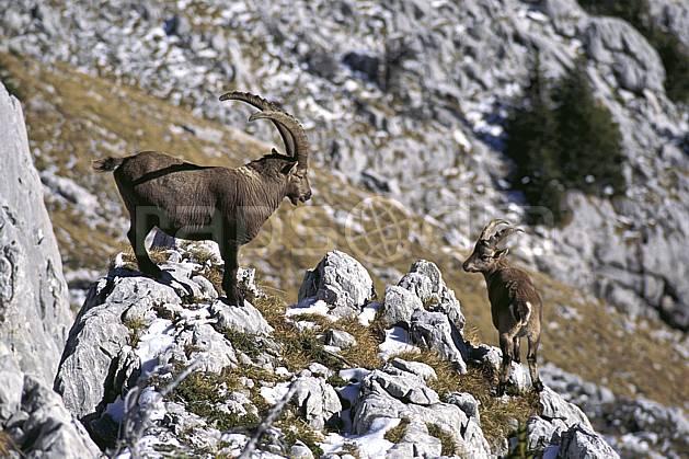 ac1071-33LE : Bouquetins, Sous Dine, Haute-Savoie, Alpes.  Europe, CEE, bouquetin, corne, C02, C01 faune, groupe, moyenne montagne, gros plan, Annecy 2018 (France).