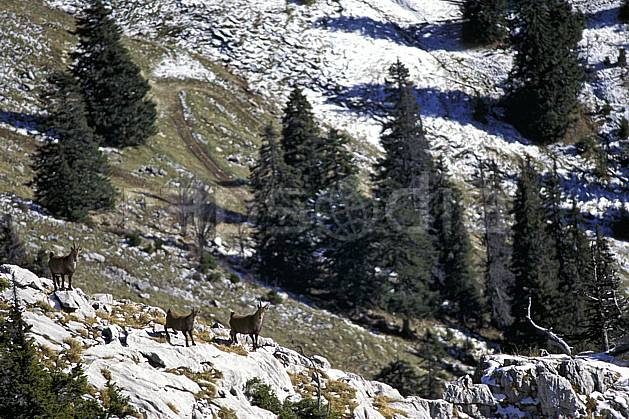 ac1071-35LE : Bouquetins, Sous Dine, Haute-Savoie, Alpes.  Europe, CEE, bouquetin, C02, C01 arbre, faune, groupe, moyenne montagne, Annecy 2018 (France).