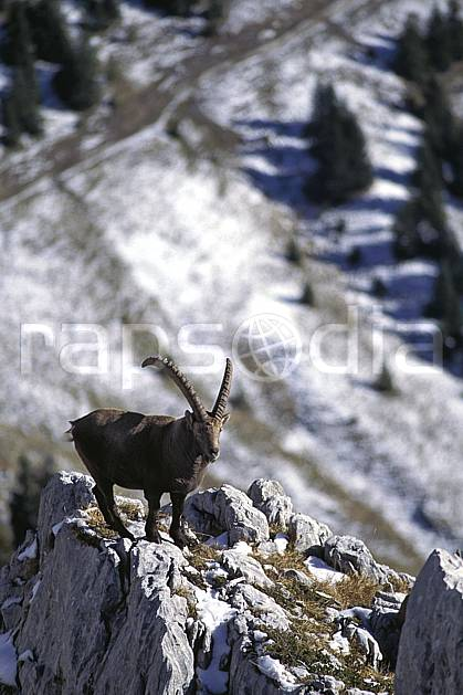 ac1072-05LE : Bouquetin, Sous Dine, Haute-Savoie, Alpes.  Europe, CEE, bouquetin, corne, C02, C01 faune, moyenne montagne, Annecy 2018 (France).