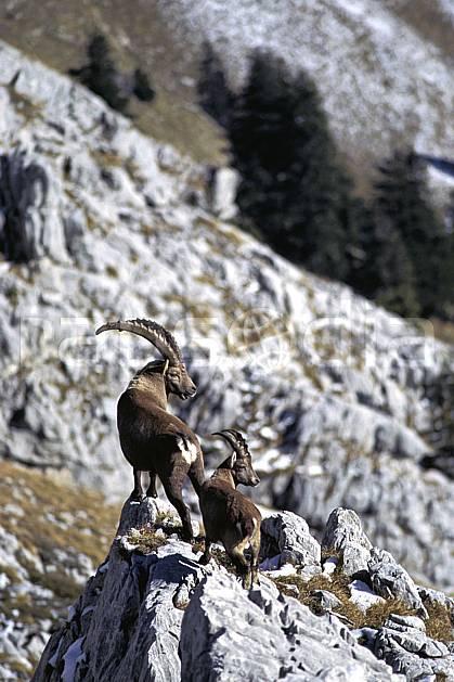 ac1072-10LE : Bouquetins, Sous Dine, Haute-Savoie, Alpes.  Europe, CEE, bouquetin, corne, C02, C01 faune, groupe, moyenne montagne, Annecy 2018 (France).