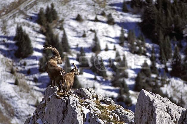 ac1072-19LE : Bouquetins, Sous Dine, Haute-Savoie, Alpes.  Europe, CEE, bouquetin, corne, C02, C01 faune, groupe, moyenne montagne, Annecy 2018 (France).