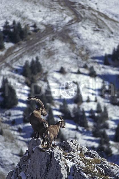 ac1072-21LE : Bouquetins, Sous Dine, Haute-Savoie, Alpes.  Europe, CEE, bouquetin, corne, C02, C01 faune, groupe, moyenne montagne, Annecy 2018 (France).