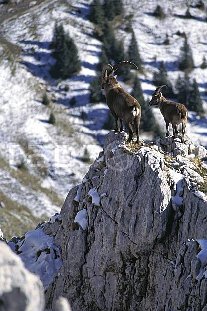 ac1072-25LE : Bouquetins, Sous Dine, Haute-Savoie, Alpes.  Europe, CEE, bouquetin, corne, C02, C01 faune, groupe, moyenne montagne, Annecy 2018 (France).