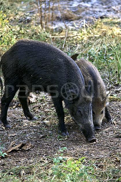 ac1201-20LE : Sanglier femelle et petit, Argonay, Haute-Savoie.  Europe, CEE, sanglier, C02, C01 faune, groupe, moyenne montagne, gros plan, Annecy 2018 (France).