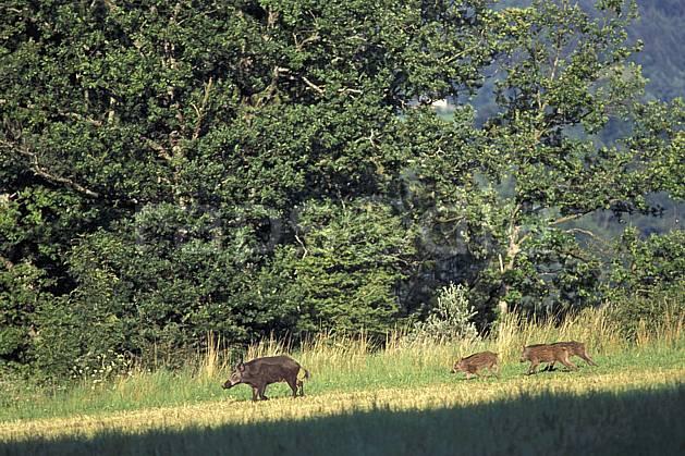 ac1201-35LE : Sanglier femelle et petits, Argonay, Haute-Savoie.  Europe, CEE, herbe, sanglier, C02, C01 arbre, faune, groupe, moyenne montagne, Annecy 2018 (France).