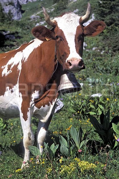 ac2467-33LE : Vache en alpage, Leysin, Alpes.  Europe, corne, herbe, vache, cloche, alpage, C02, C01 faune, moyenne montagne, gros plan, portrait (Suisse).
