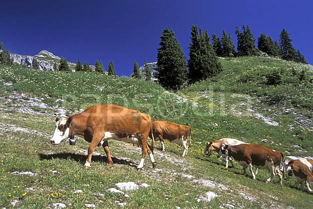 ac2468-01LE : Leysin, Alpes.  Europe, ciel bleu, corne, herbe, vache, alpage, troupeau, C02, C01 faune, groupe, moyenne montagne, paysage (Suisse).
