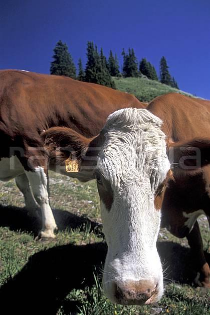 ac2468-07LE : Vache en alpage, Leysin, Alpes.  Europe, herbe, vache, C02, C01 faune, gros plan, moyenne montagne, portrait (Suisse).