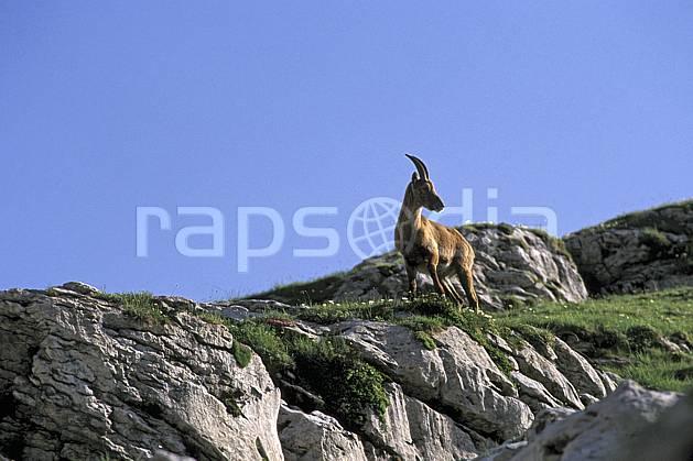 ac2472-22LE : Femelle bouquetin, Leysin, Alpes.  Europe, bouquetin, ciel bleu, corne, C02, C01 faune, moyenne montagne (Suisse).