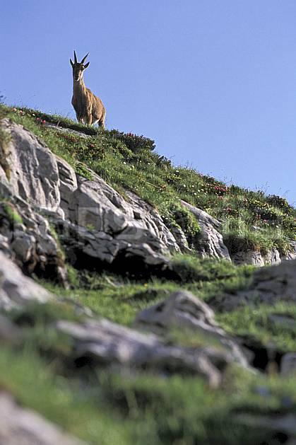 ac2472-23LE : Femelle bouquetin, Leysin, Alpes.  Europe, bouquetin, ciel bleu, corne, herbe, C02, C01 faune, moyenne montagne (Suisse).