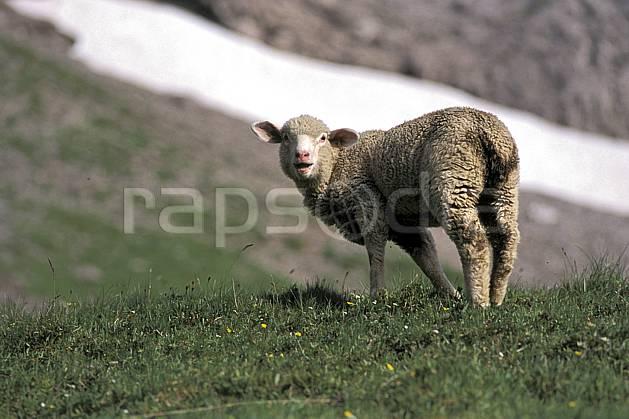 ac2472-29LE : Mouton, Leysin, Alpes.  Europe, herbe, mouton, C02, C01 faune, moyenne montagne, gros plan (Suisse).