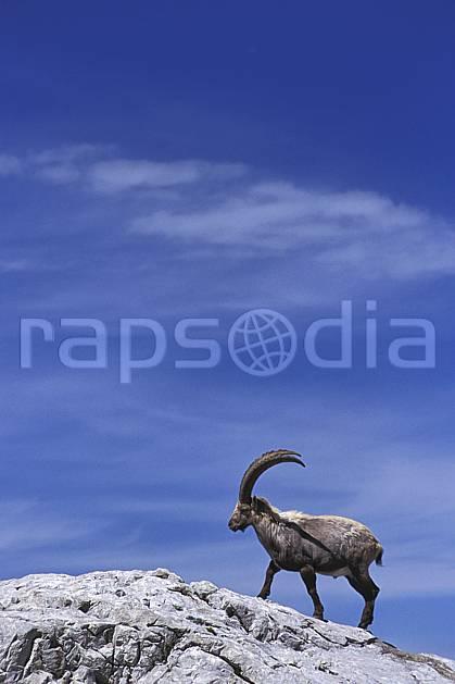 ac2477-05LE : Bouquetin, Leysin, Alpes.  Europe, bouquetin, ciel bleu, corne, C02, C01 faune, moyenne montagne (Suisse).