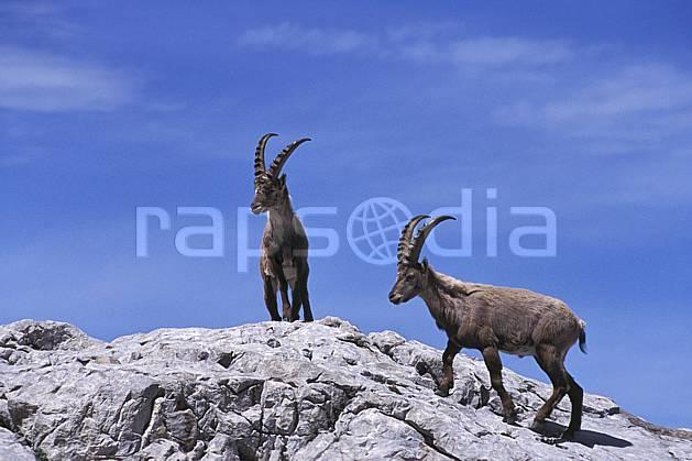ac2477-08LE : Bouquetins, Leysin, Alpes.  Europe, bouquetin, corne, C02, C01 faune, groupe, moyenne montagne (Suisse).
