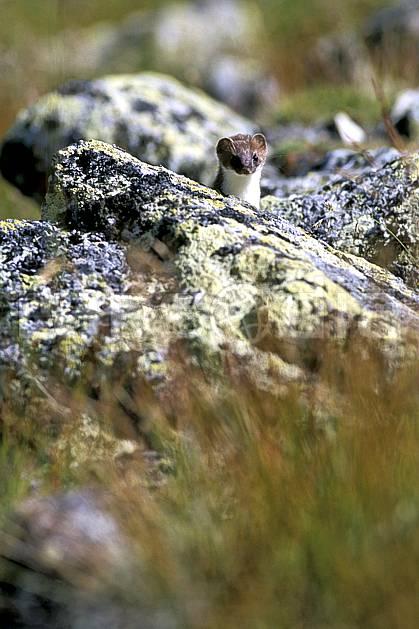 ac2519-26LE : Hermine, Chamonix/Zermatt, Alpes.  Europe, hermine, C02, C01 faune, moyenne montagne (Suisse).