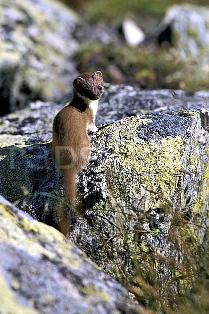 ac2519-28LE : Hermine, Chamonix/Zermatt, Alpes.  Europe, hermine, C02, C01 faune, moyenne montagne, gros plan (Suisse).