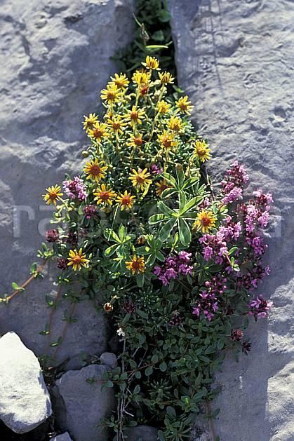 ad0305-37LE : Saxifrage.  Europe, CEE, fleur, fleur jaune, fleur violette, C02, C01 Annecy 2018, flore, moyenne montagne (France).