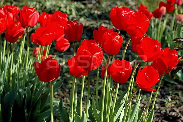 ad040001LE : Tulipes.  Europe, CEE, fleur, tulipe, C02, C01 Annecy 2018, flore, gros plan, moyenne montagne (France).