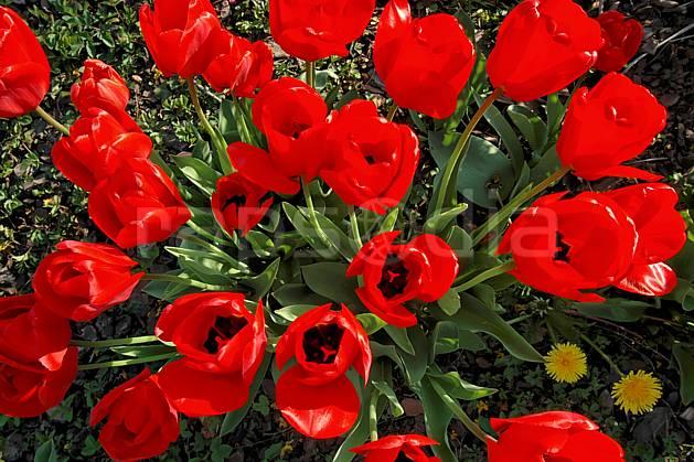 ad040002LE : Tulipes.  Europe, CEE, fleur, tulipe, C02, C01 Annecy 2018, flore, gros plan, moyenne montagne (France).