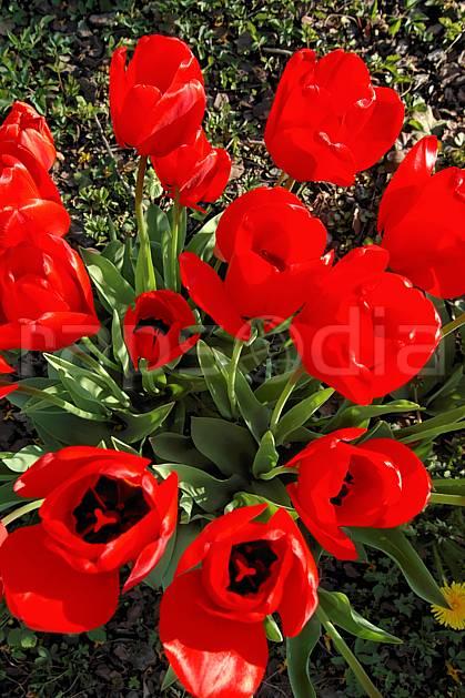 ad040003LE : Tulipes.  Europe, CEE, fleur, tulipe, C02, C01 Annecy 2018, flore, gros plan, moyenne montagne (France).